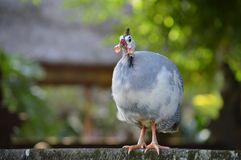 The guinea fowl is watching carefully stock photo