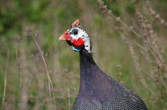 Guinea-fowl3 Fotografia de Stock