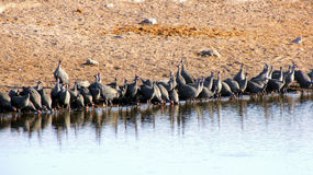 Guinea-fowls Royalty Free Stock Photography