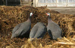 Guinea fowls Stock Photography