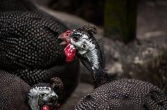 Guinea fowls Stock Image