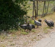 Guinea fowls with dotted feathers Royalty Free Stock Photography