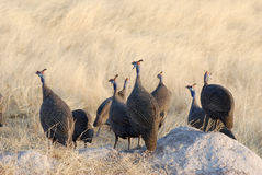 Guinea-fowls Stock Photography