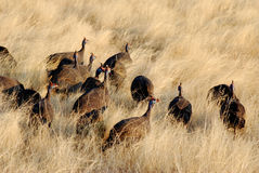 Guinea-fowls Royalty Free Stock Image