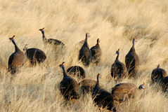 Guinea-fowls Stock Photo