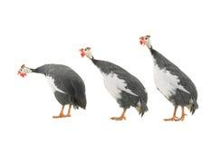 Guinea fowls Royalty Free Stock Photos