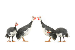 Guinea fowls Royalty Free Stock Images
