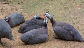Guinea fowls Stock Images