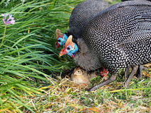 Guinea fowls Royalty Free Stock Photo