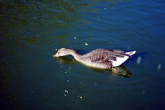 The guinea goose swims in a pond and there are grain crumbs. Moscow Zoo Stock Photography