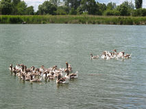 Guinea gooses float in a rural pond Stock Image