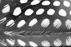 Guinea hen feather Royalty Free Stock Image