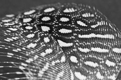 Guinea hen feather Royalty Free Stock Images