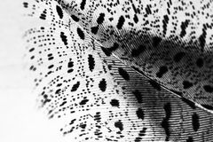 Guinea hen feather. With light grey background royalty free stock photography