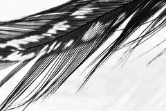 Guinea hen feather. With light grey background royalty free stock photos