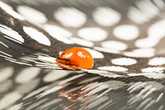 Guinea hen feather with orange water drop. And details stock photos