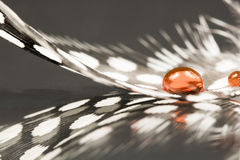 Guinea hen feather with orange water drops Royalty Free Stock Images