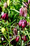 Guinea Hen Flower or Snake`s Head - Fritillaria meleagris. Flowers with unique dainty chequered bell shaped flowers stock images
