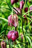 Guinea Hen Flower or Snake`s Head - Fritillaria meleagris. Flowers with unique dainty chequered bell shaped flowers stock photography