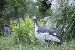 Guinea Hen in Garden. With grass royalty free stock image