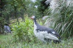 Guinea Hen in Garden royalty free stock image
