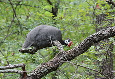 Guinea Hen Roosting in Tree. A beautiful spotted guinea hen is roosting in the branches of an oak tree, surrounded by green leaves royalty free stock photos