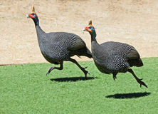 Guinea Hens stock image