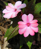 Guinea Impatiens blommor Royaltyfria Foton