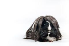 guinea isolerad pig Royaltyfria Bilder