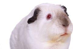 guinea isolerad pig arkivfoton