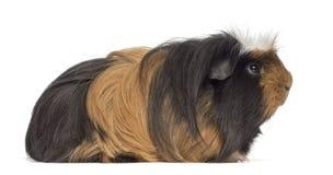 guinea isolerad pigwhite Arkivfoton