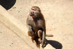 Guinea-Pavian Stockfotografie