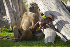 Guinea-Pavian mit Jungen Stockbild