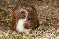 Guinea pic Cavia porcellus is eating grass. Guinea pic Cavia porcellus is eating grass and looking into the camnera Stock Images