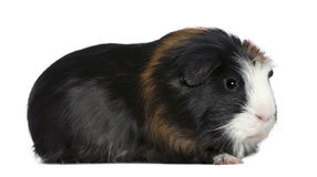 Guinea pig, 1 and a half years old Stock Image