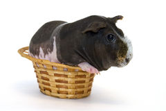 Guinea pig. Live guinea pig in a wicker basket Royalty Free Stock Images