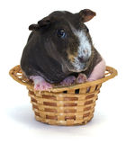 Guinea pig. Live guinea pig in a wicker basket Royalty Free Stock Image