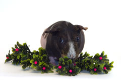 Guinea pig. Live guinea pig on green branches Stock Photos