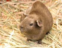 Guinea Pig. Sitting in some straw Royalty Free Stock Photo