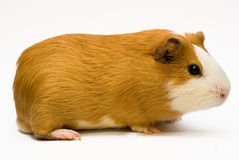 Free Guinea Pig Royalty Free Stock Photos - 12381588