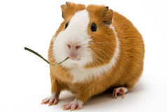 Guinea pig. A surprised guinea pig with a blade of grass Stock Photo