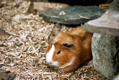 Guinea Pig. Taking a nap royalty free stock photo