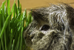 Guinea Pig. Exploring some fresh grass royalty free stock images