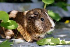 Guinea pig Stock Image