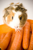 Guinea Pig. Adorable guinea pig with many carrots Stock Images