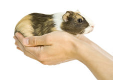 Free Guinea Pig Stock Photography - 15248982