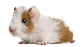 Guinea pig. In front of white background Stock Photography