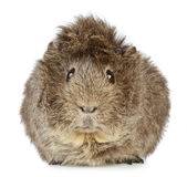 Guinea pig. On a white background Stock Images