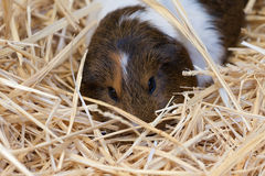 Guinea pig. A brown and white guinea pig hiding in straw bedding Stock Photos