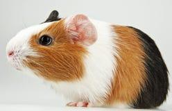 Free Guinea Pig Royalty Free Stock Photos - 17870608
